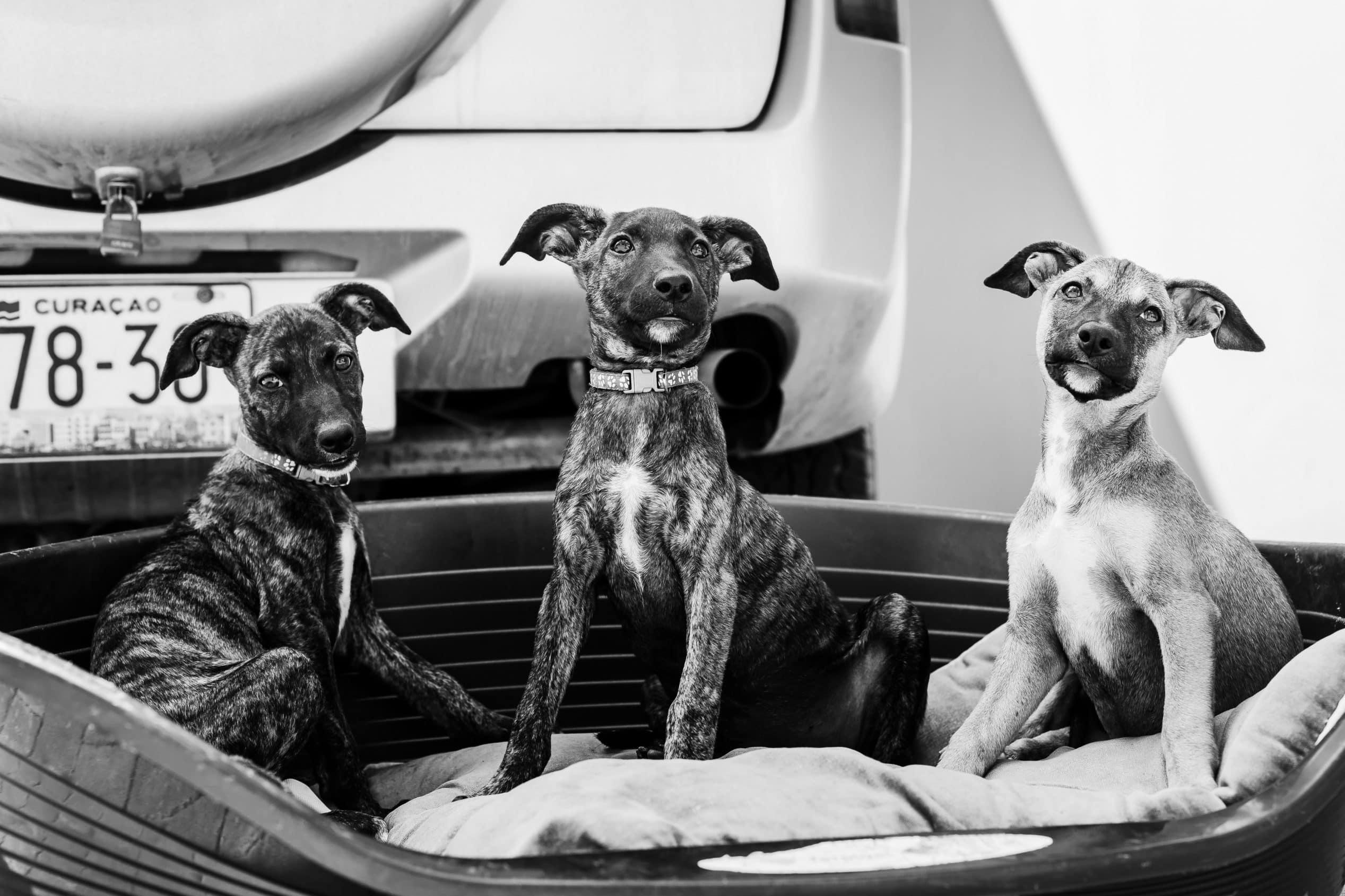 straathonden Curacao
